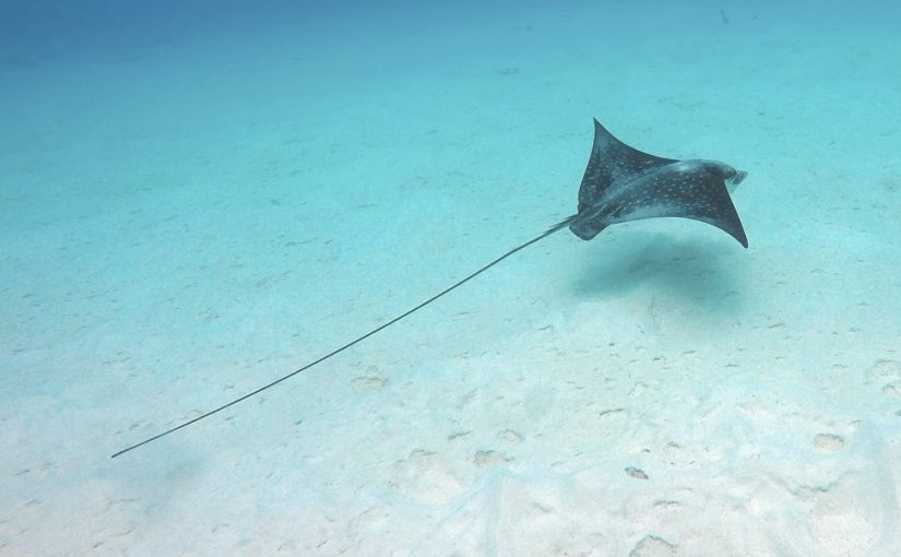 Video: Spotted Eagle Ray