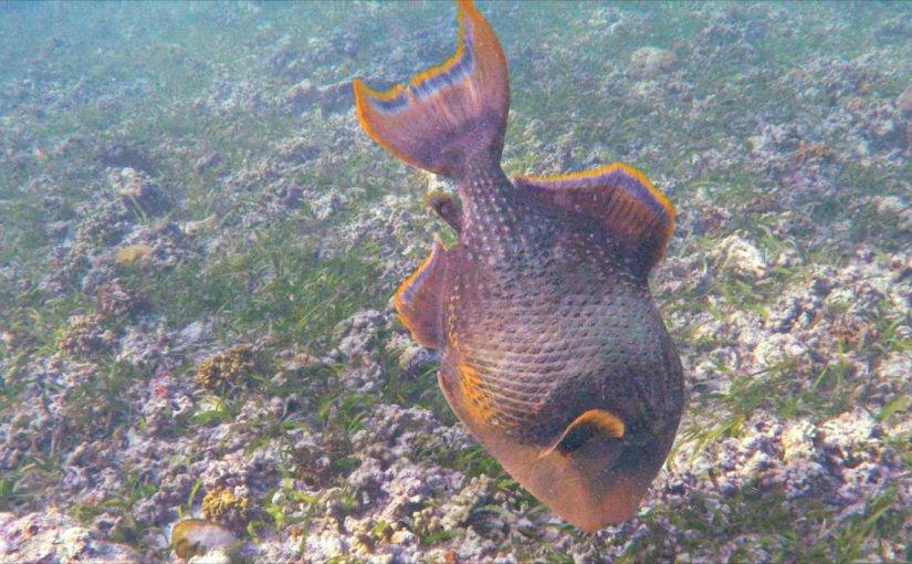Video: Titan Triggerfish