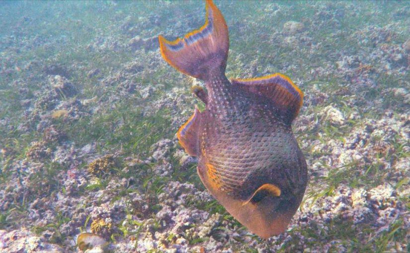 Video: Titan Triggerfish